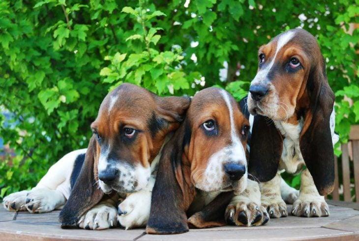 Perros orejas largas