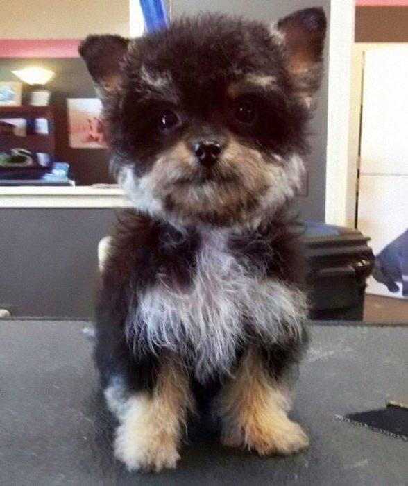 perro mezcla de Yorkshire Terrier y Poodle
