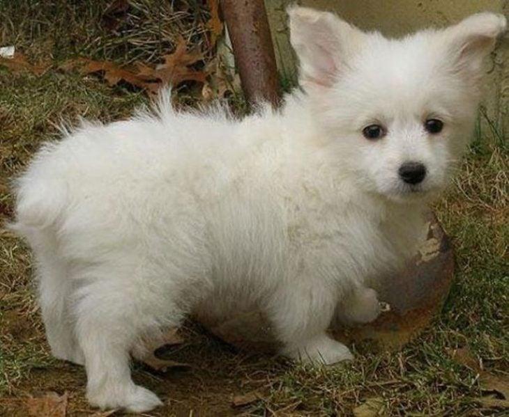 perro mezcla de Poodle y Corgi