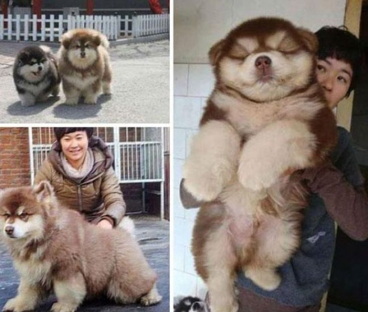 Perro mezcla de Chow Chow y Husky