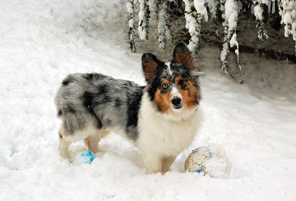 perro mezcla de Corgi y Sheltie en la nieve