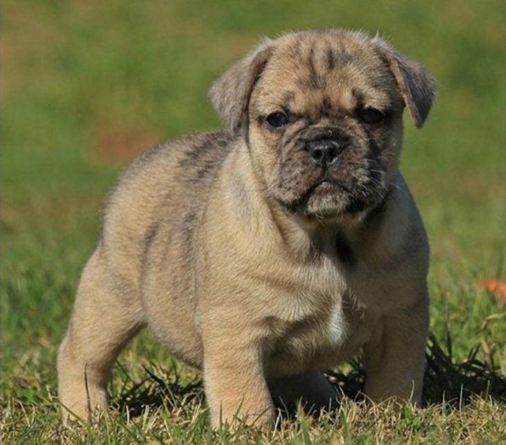 perro mezcla de Basset Hound y Shar-Pei