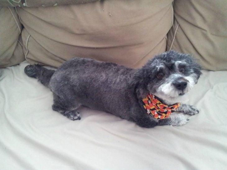 Perro mezcla de Schnauzer y Poodle