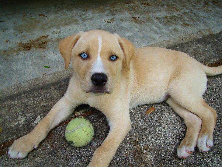 Cachorro mezcla de Labrador y Husky