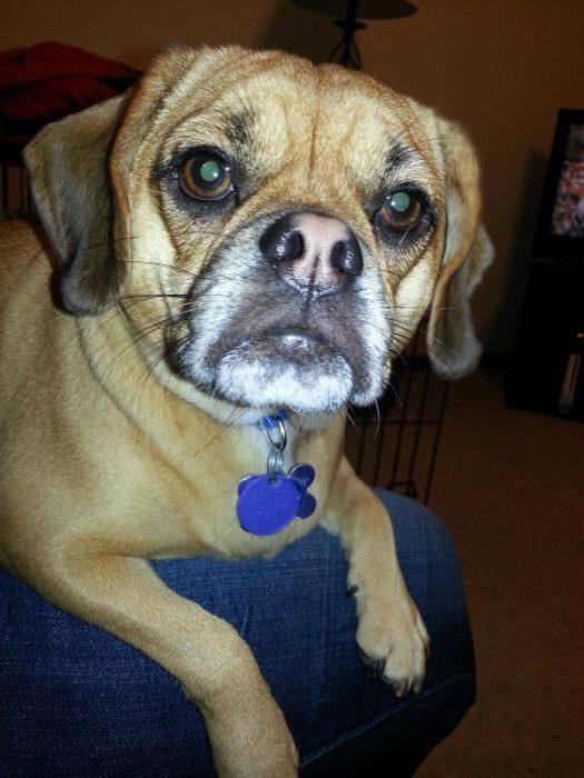 Perro mezcla de Pug y Beagle