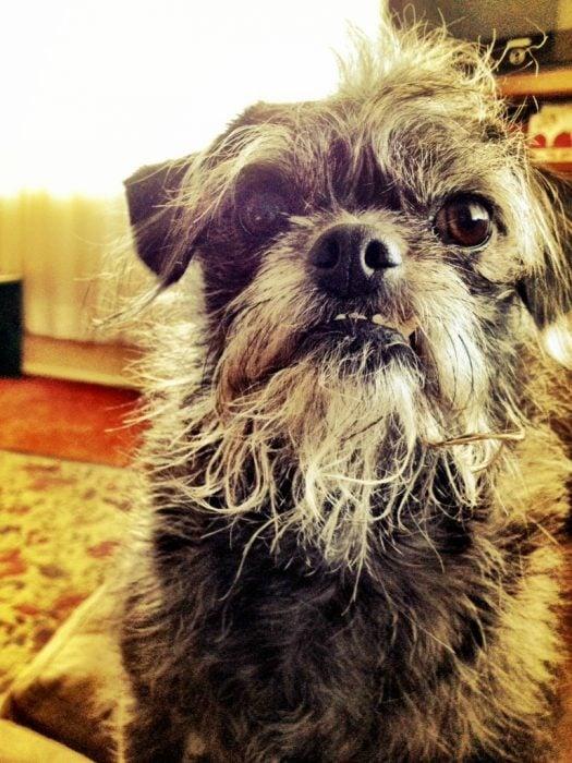 Perro mezcla de Pug y Poodle