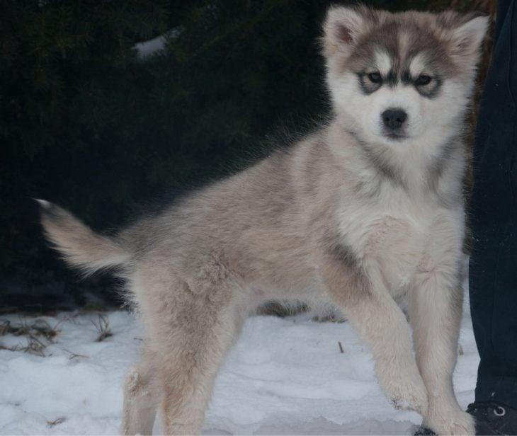 perro en la nieve mezcla de Husky Siberian y Alaskan Malamute