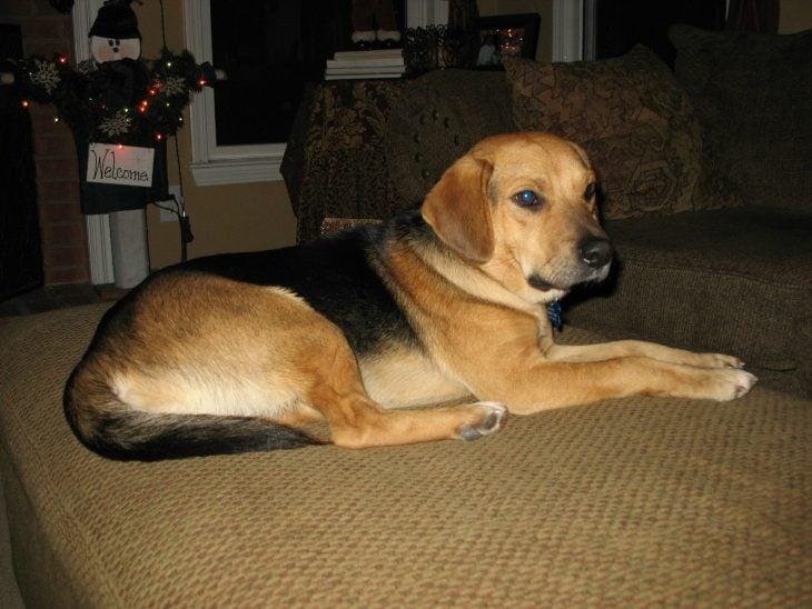 Perro mezcla de Beagle y pastor alemán