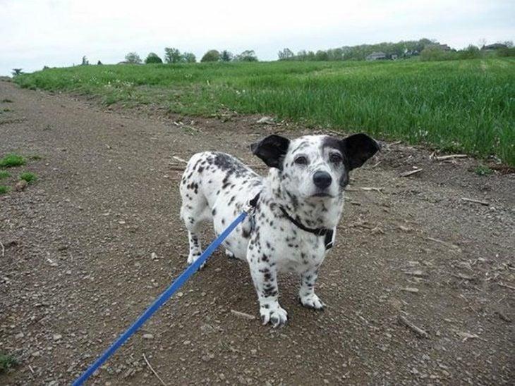 Perro mezcla de Corgi y Dálmata