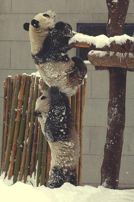osos panda ayudándose a subir