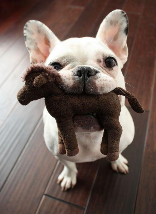 cachorro sosteniendo un caballo de peluche en su hocico