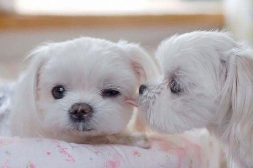 cachorros de color blanco recostados sobre una cama y lamiéndose las orejas