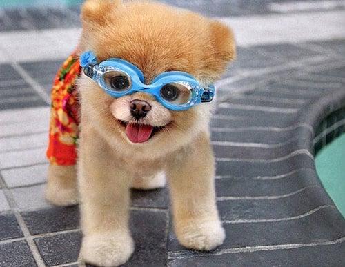 perrito al lado de una piscina usando lentes y traje de baño