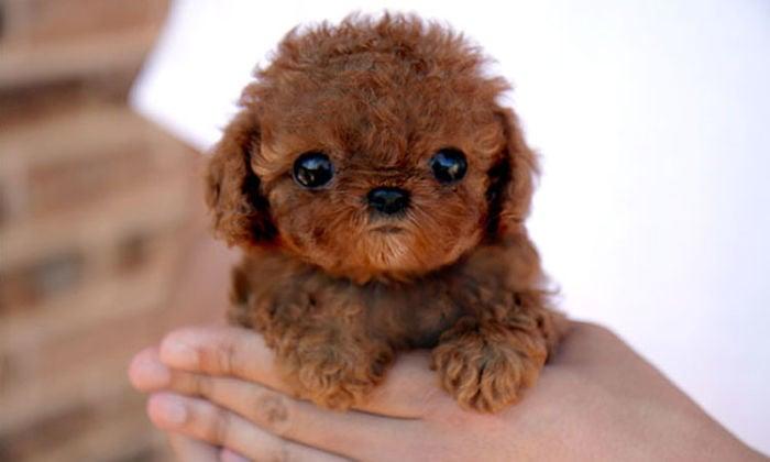 perrito color café con ojos grandes al que están sosteniendo con las manos