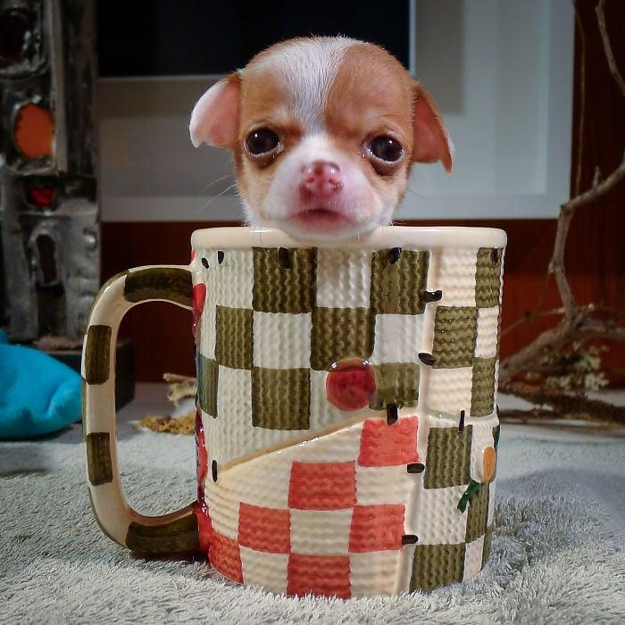 cachorro chihuahua dentro de una taza