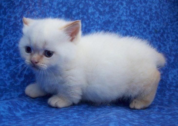 Gato Munchkin bebé blanco y esponjado