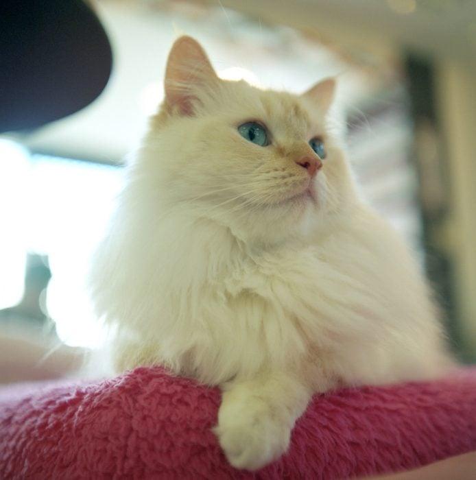 Gato Munchkin blanco y esponjado