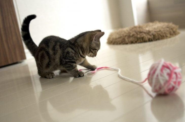 Gato Munchkin jugando con un hilo