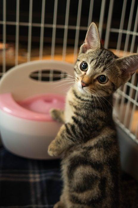 Gato Munchkin sorprendido