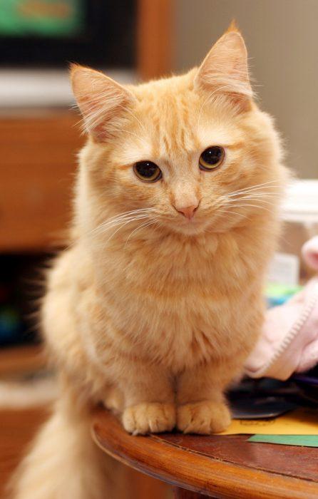 Gato Munchkin anaranjado