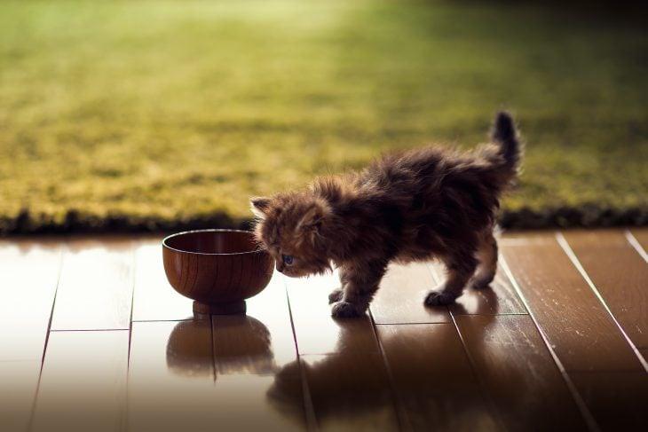 Gato Munchkin pequeño explorando