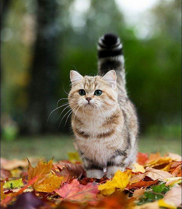 gato Munchkin en hojas secas