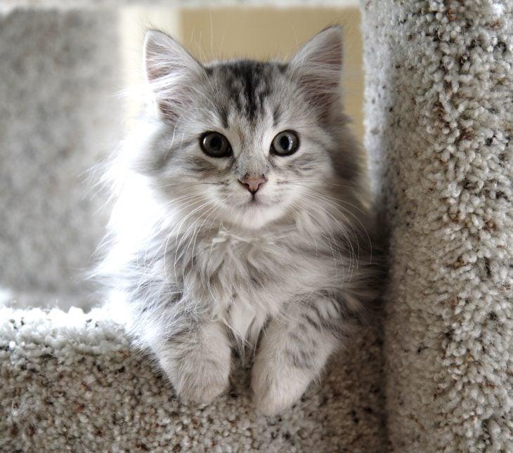 Gato Munchkin gris en un escalón