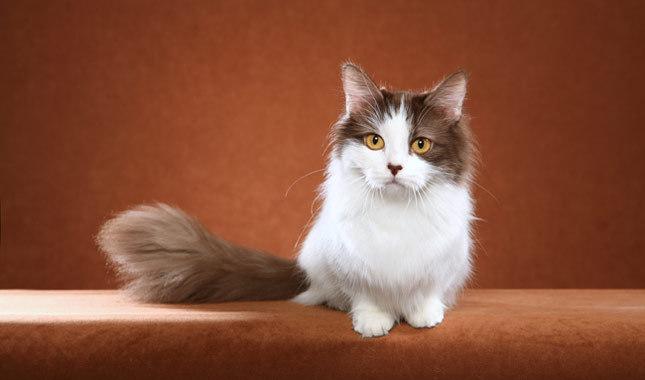 Gato Munchkin posando para la foto