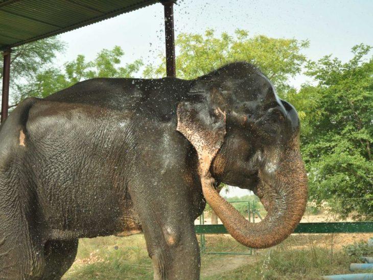 Elefante Raju después de ser rescatado con unas gotas de agua sobre su rostro