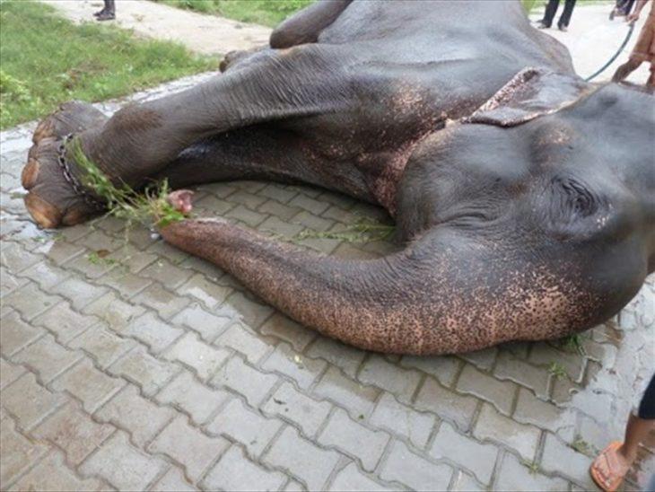 """Elefante """"Raju"""" tirado en el suelo"""