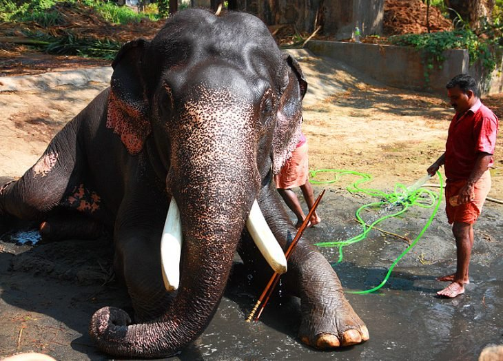 Baño al elefante Raju después de rescatado