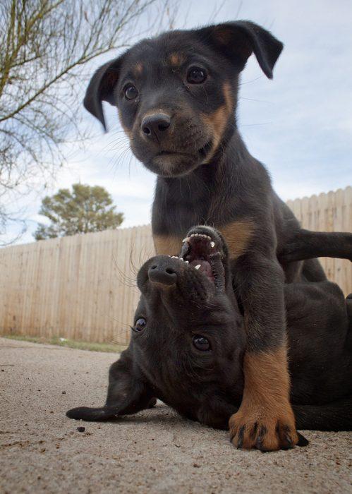Cachorros negro con café jugando
