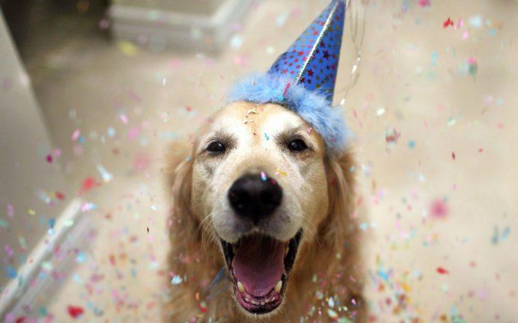 Perro golden retriever en una fiesta de cumpleaños