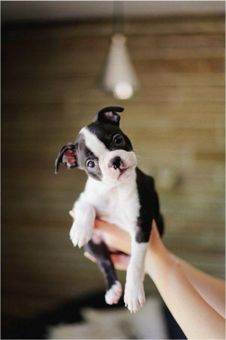 cachorro negro con blanco posando a la cámara