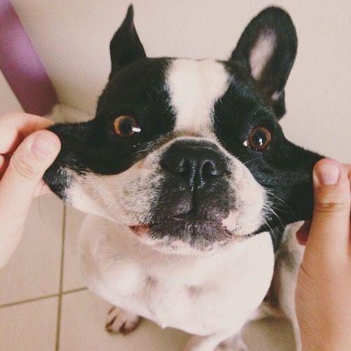 Perro bulldog francés blanco con negro con cara graciosa
