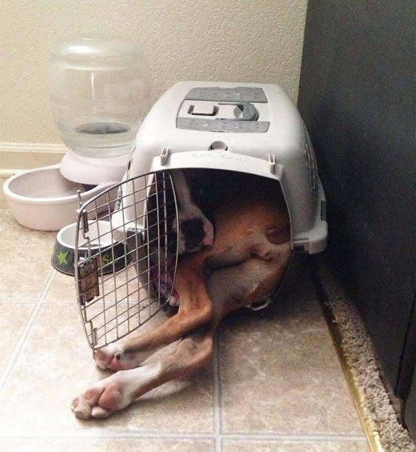 enorme perro que no cabe dentro de una caja de viaje