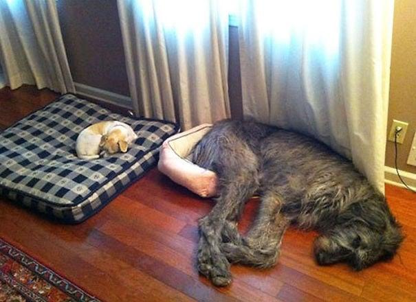 perro acostado en una cama de perros, pero su cuerpo se desborda fuera de ella