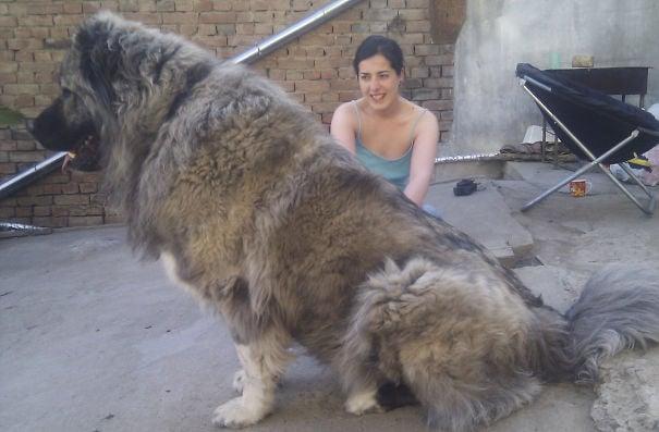 perros enormes (3)