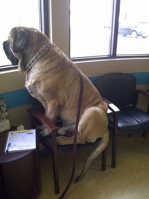 enorme perro mirando por la ventana mientras espera que el veterinario lo revise