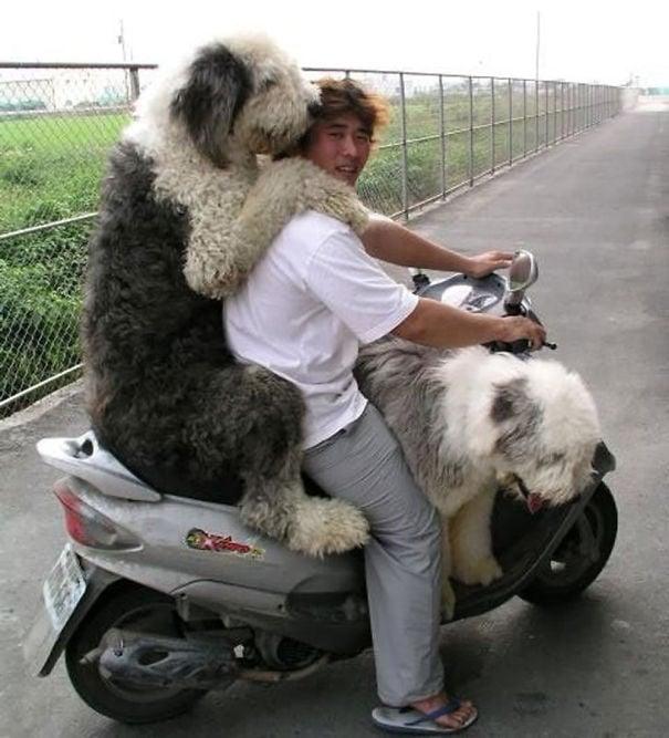 perros blanco y negro en una motocicleta junto a su dueño