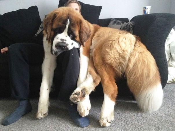 perro san bernardo recostado en las piernas de su dueño que esta sentado en un sofá