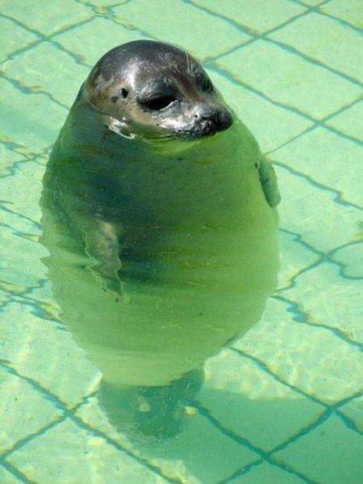 foca parada en una piscina con el agua hasta la nariz