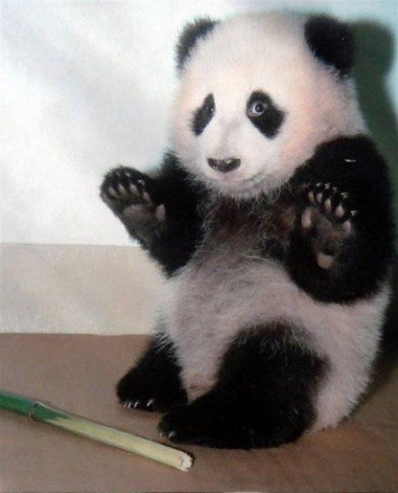 panda con las patas arriba