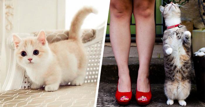21 Razones por las que necesitas tener un gato MUNCHKIN en tu vida