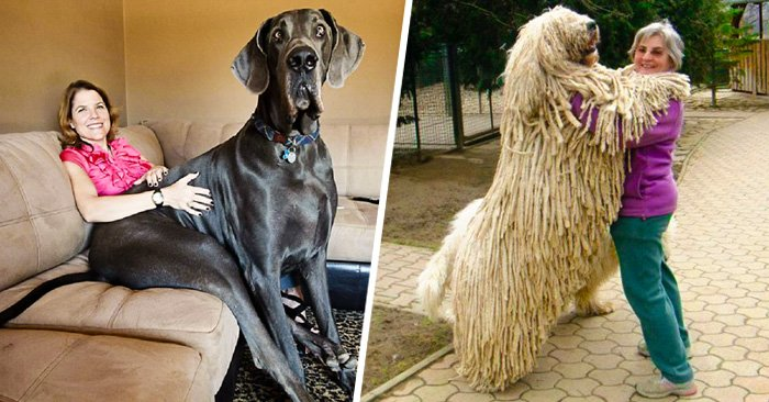 25 Adorables perros que no han entendido lo GRANDES que son