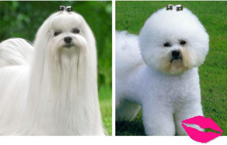 perrito con el cabello esponjado y otro con el cabello lacio