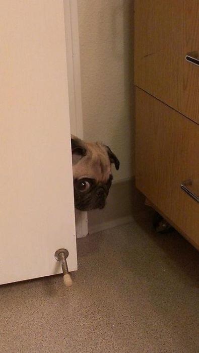 perro asomando la cara por la puerta entre abierta
