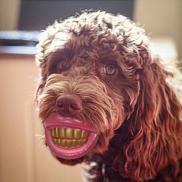 perro con una mordedera en dientes color café y rosa