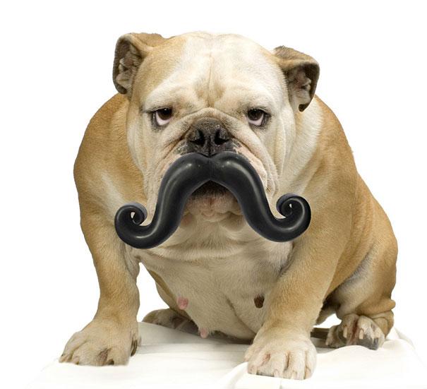 perro bulldog ingles con un juguete en forma de mostacho