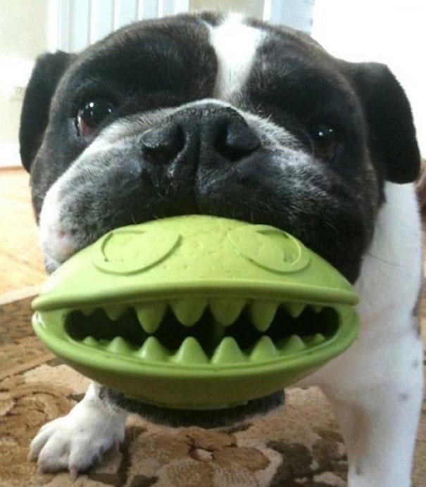 perro con una pelota color verde en la foto